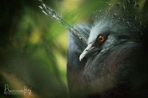 Victoria Crowned Pigeon by MsCarmen