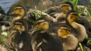 Mallard ducklings by MichelLalonde