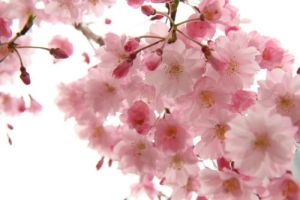 cherry blossoms by xIceringerx
