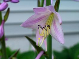 Purple Hosta by jerrinator