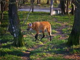 Tha maned wolf by Triumfa