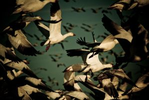 Snow Geese Take Off by bovey-photo
