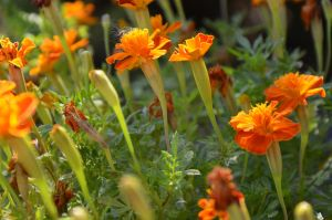 Orange flowers by cythia-duval