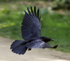 Raven in the air by MJFOTO