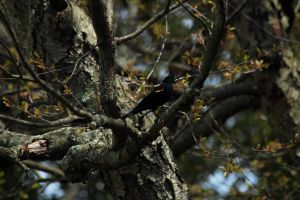 Red winged black bird by paws720