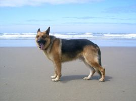 dog 14: german shepard by cyborgsuzystock