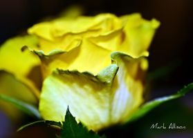 Yellow Rose by Mark-Allison