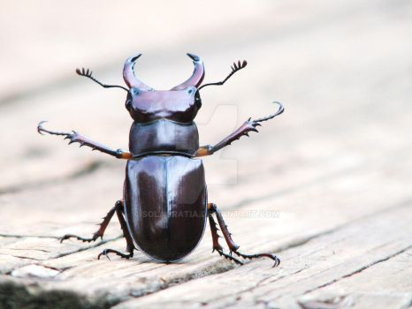 stag beetle by solagratia