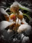 Snow on plant by RhiRhi1234