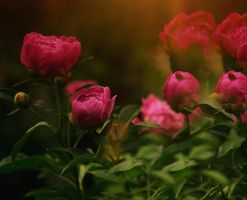 Peonies by Jester-Genso