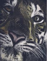 Tigre by ashley-f