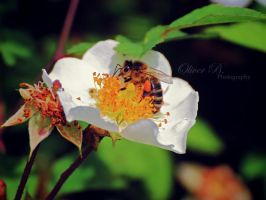 Pollination III by OliverBPhotography