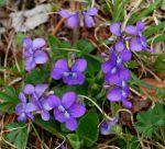 Wild violets On Our Lawn by FlowerFreak