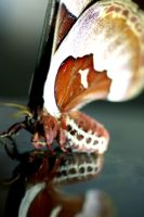 Promethea Moth on marble by Meddling-With-Nature
