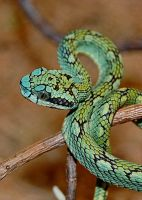 Trimeresurus trigonocephalus by Protobothrops