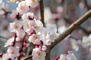 Japanese plum blossoms by theblindalley