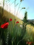 Poppies by FlitsArt