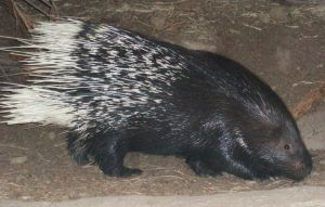SD Zoo - Porcupine by sychoblustock