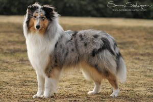 Blue merle Collie by SaNNaS