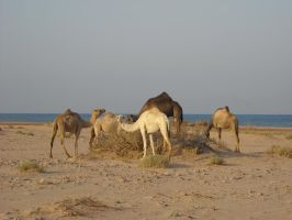 the beach camels by Fawania