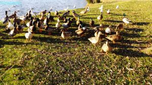 Thats alot of ducks by IamNasher