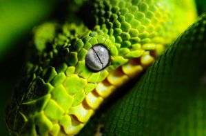Emerald Tree Boa by Meddling-With-Nature