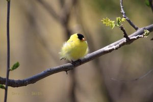 All Puffed up Goldfinch edition by Gerryanimator