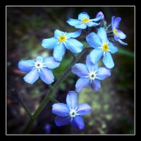 Forget me not by rosebud10