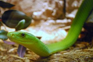 East African Green Mamba 09 by ManitouWolf