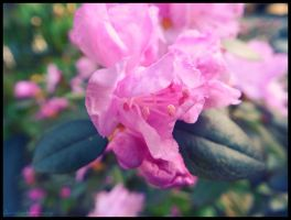Pink Bloom. by Sparkle-Photography
