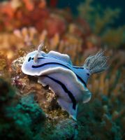 nudibranch by idulfingz