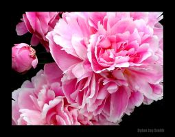 Peony Cluster by thesearebutterflies