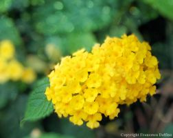 Two yellow flowers by FrancescaDelfino