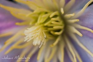 Clematis I by quansie