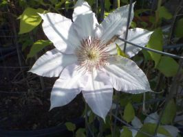 Clematis by askthevampire