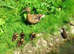 ducklings by Mittelfranke