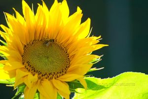 A bee on a sunflower by xTernal7