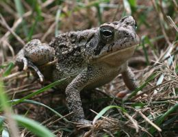 Fowler's Toad XT0017498 by Cristian-M