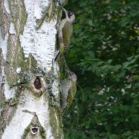 Woodpecker couple looking for a home by andersvolker