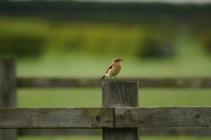 Wheatear Female by hanimal60