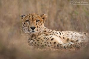 Lying with a Cheetah by MorkelErasmus