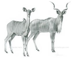 African Greater Kudu by Heliocyan