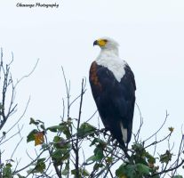 Fish Eagle by Okavanga