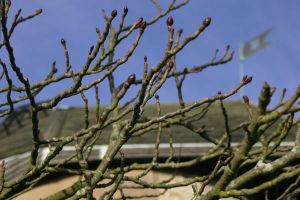 Early spring buds by julie29