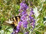 Tiger Swallowtail Butterfly by Emily183