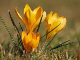 yellow crocus by wam17