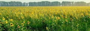 Valley of the SunFlowers by SophiGrazh