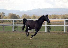 GE Arab black canter side view by Chunga-Stock