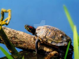 Terrapin by ANDYBURGESS