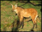 Maned Wolf in the Sun by leopatra-lionfur